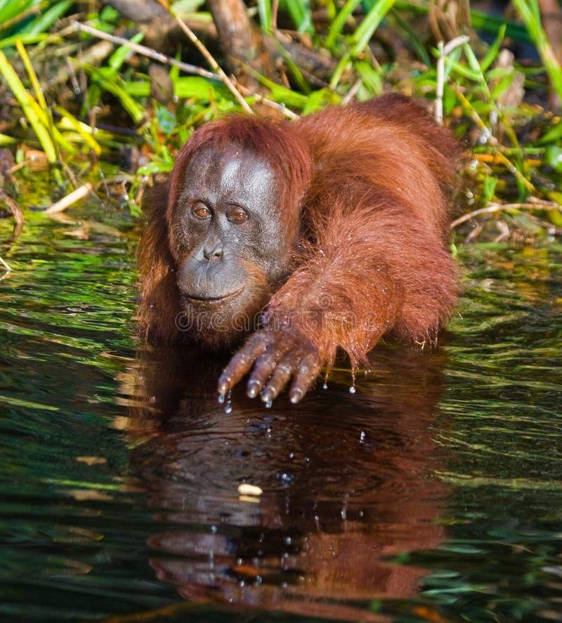 Eau potable d'orang-outan de la rivière dans la jungle l'indonésie L'île de Kalimantan et de x28 ; Borneo& x29 ; image stock