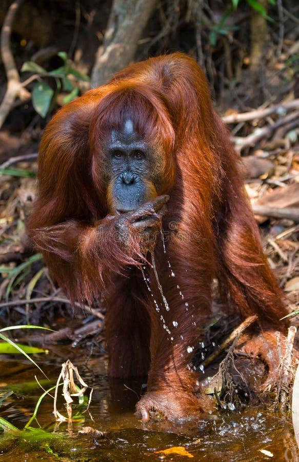 Eau potable d'orang-outan de la rivière dans la jungle l'indonésie L'île de Kalimantan et de x28 ; Borneo& x29 ; photos libres de droits
