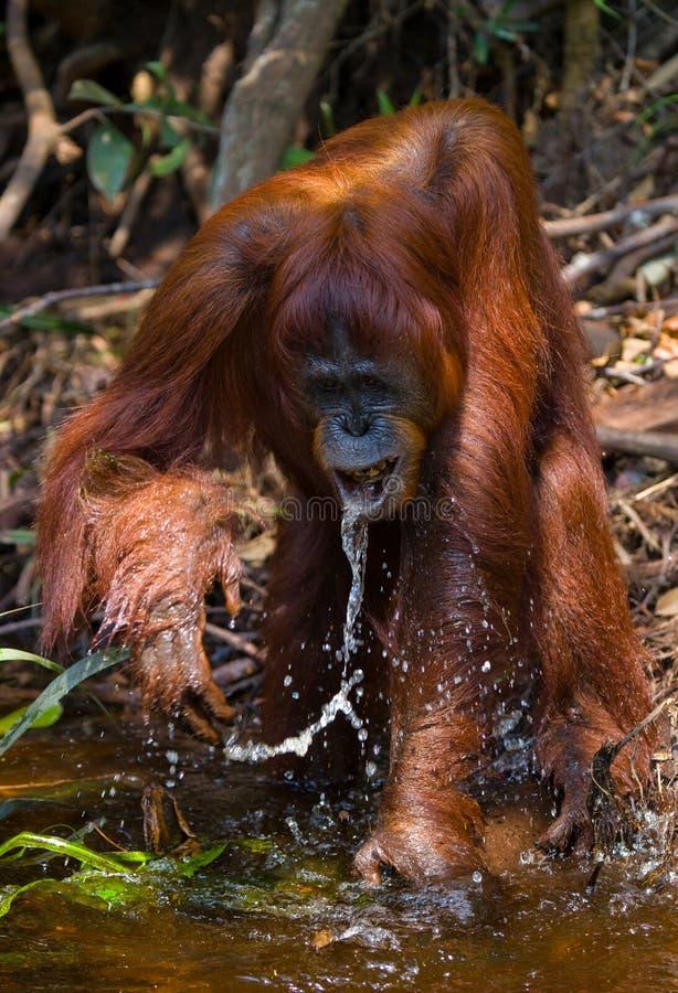 Eau potable d'orang-outan de la rivière dans la jungle l'indonésie L'île de Kalimantan et de x28 ; Borneo& x29 ; photographie stock libre de droits