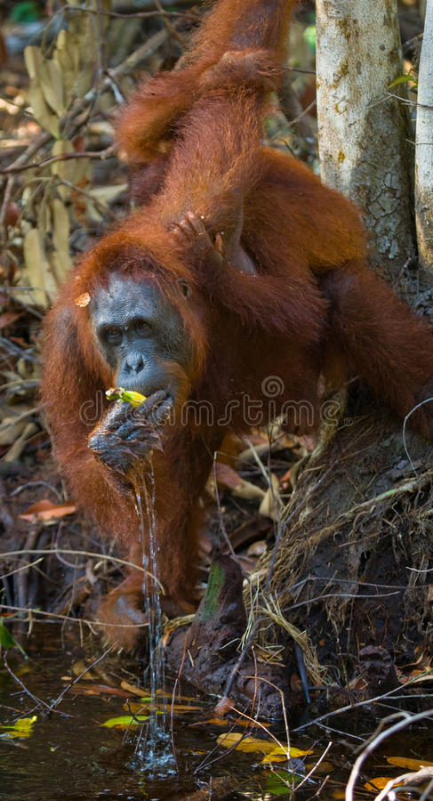 Eau potable d'orang-outan de la rivière dans la jungle l'indonésie L'île de Kalimantan et de x28 ; Borneo& x29 ; photographie stock