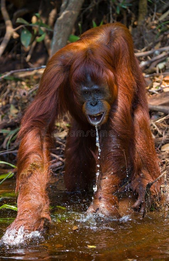 Eau potable d'orang-outan de la rivière dans la jungle l'indonésie L'île de Kalimantan et de x28 ; Borneo& x29 ; image libre de droits