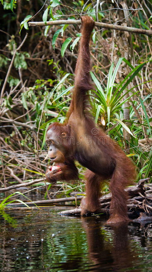 Eau potable d'orang-outan de la rivière dans la jungle l'indonésie L'île de Kalimantan et de x28 ; Borneo& x29 ; images libres de droits