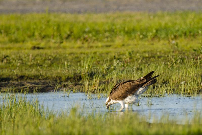 Eau potable de balbuzard dans le marais photos stock