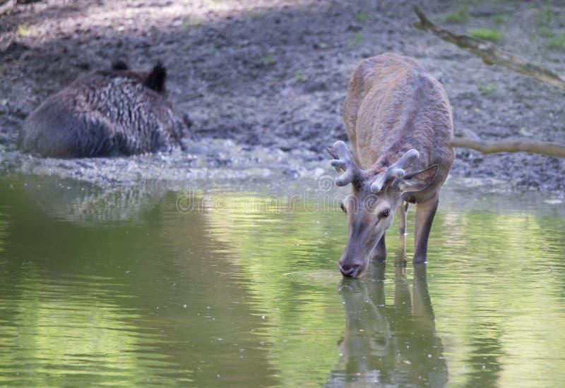 Eau potable de cerfs communs rouges dans la forêt images stock