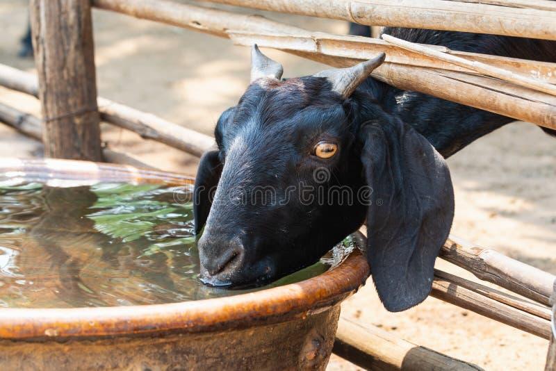 Eau potable de chèvre noire du grand baril d'argile dans le village de Bagan, Myanmar image stock