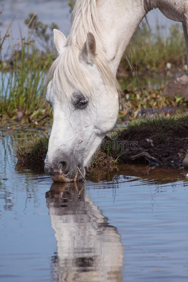 Eau potable de cheval blanc photos stock