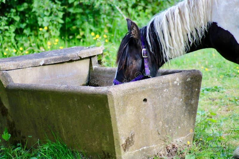 Eau potable de cheval noir et blanc photo libre de droits