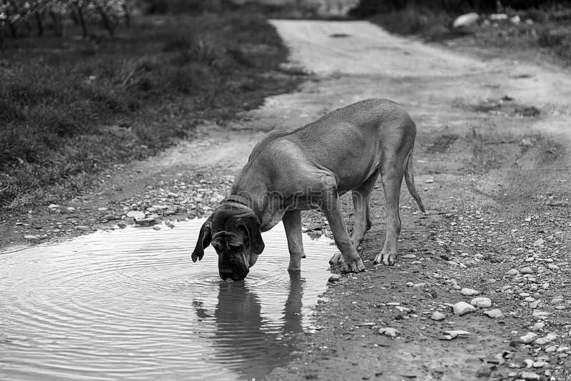 Eau potable de chien de limier images libres de droits