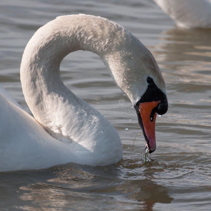 Eau potable de cygne blanc sur un lac photo libre de droits