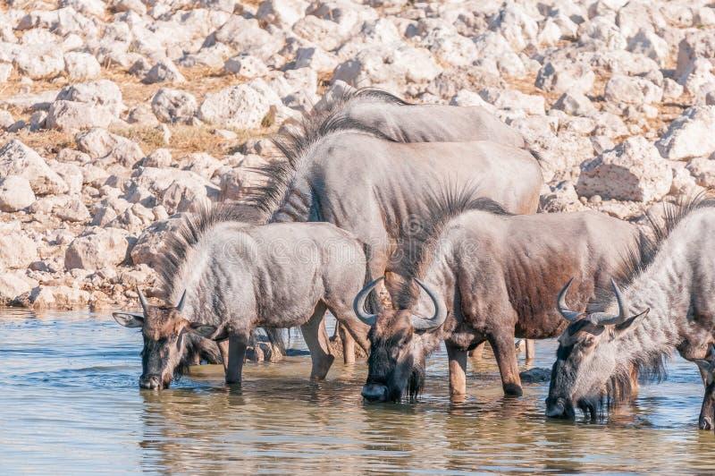 Eau potable de gnou bleu à un point d'eau dans Namibi du nord images stock