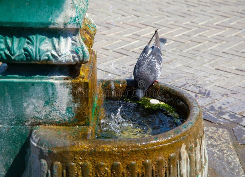 Eau potable de pigeon en été photographie stock libre de droits
