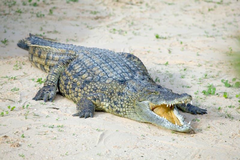 eau salée de crocodile photo libre de droits