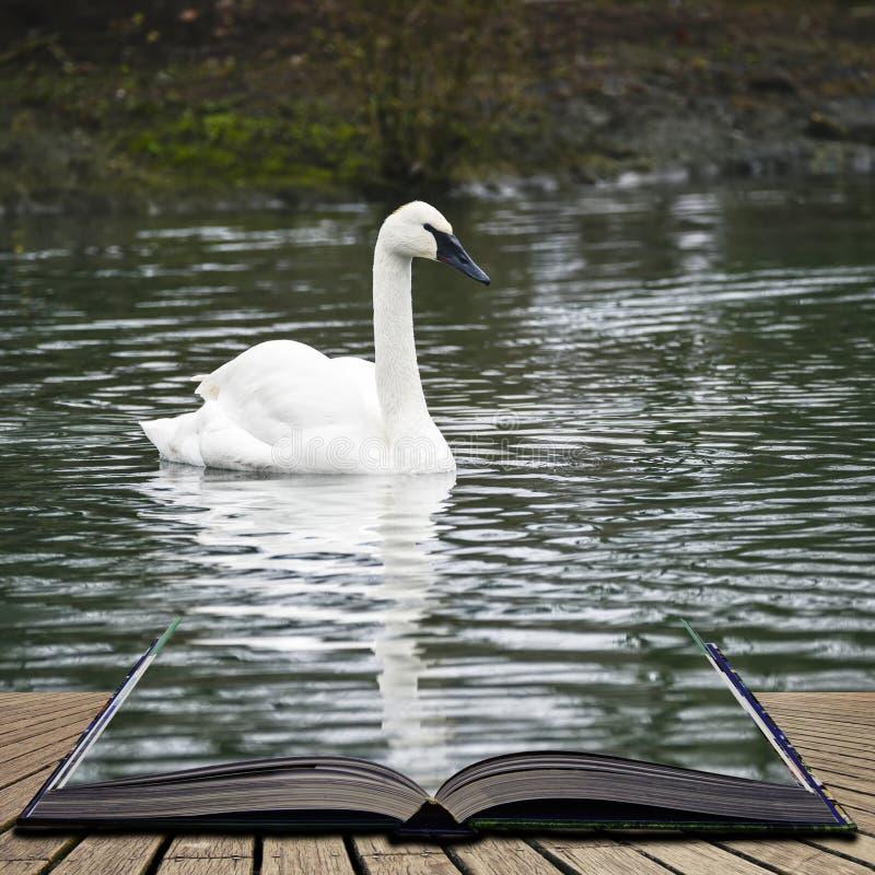 Eautiful portrait of Trumpeter Swan Cygnus Buccinator on water i stock images