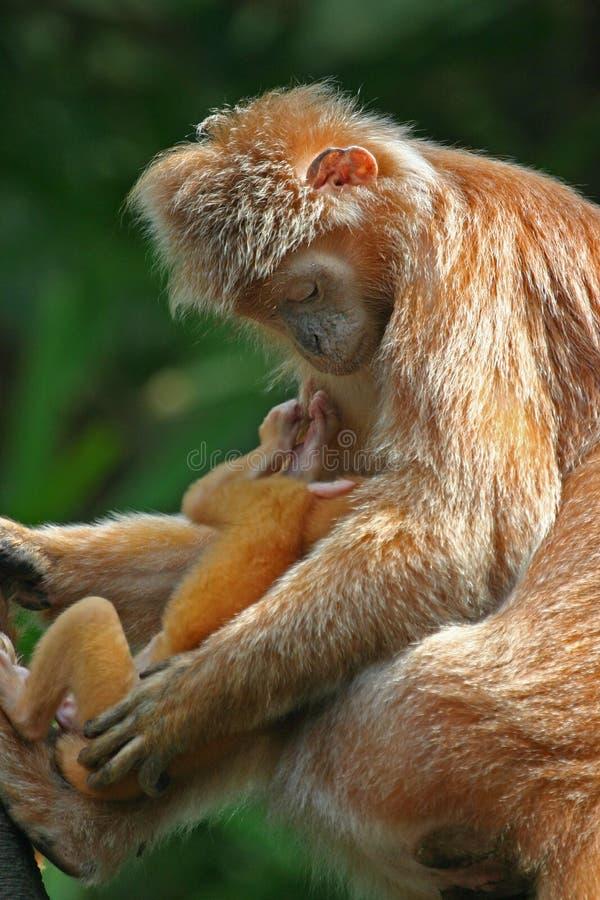 Download Ebbehout Langur Met Zuigeling - S Stock Afbeelding - Afbeelding bestaande uit dieren, liefde: 283611
