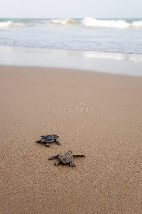 Eben ausgebrütete Schätzchenschildkröten lizenzfreie stockfotos