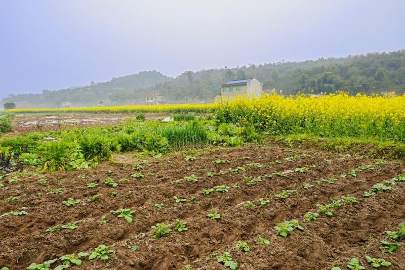 Eben bebautes Land vor blühenden Rapsfeldern im nebeligen sunn stockbilder