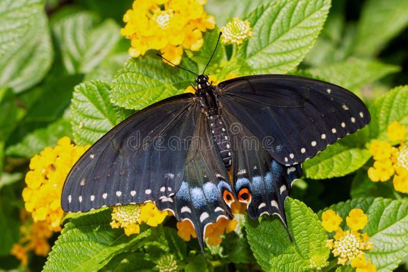 Eben eclosed weiblicher schwarzer Swallowtail-Schmetterling, der auf gelben Lantanablumen stillsteht stockbilder