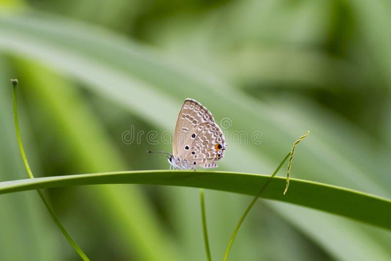 Ebenen-Amor-Schmetterling lizenzfreie stockfotografie