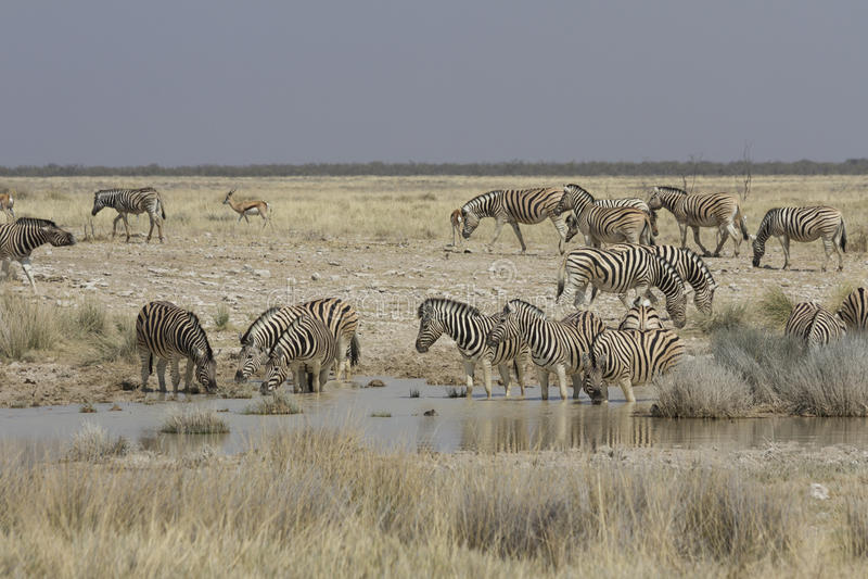 Ebenen-Zebra an der Wasserstelle, Nationalpark Etosha, Namibia stockfotografie