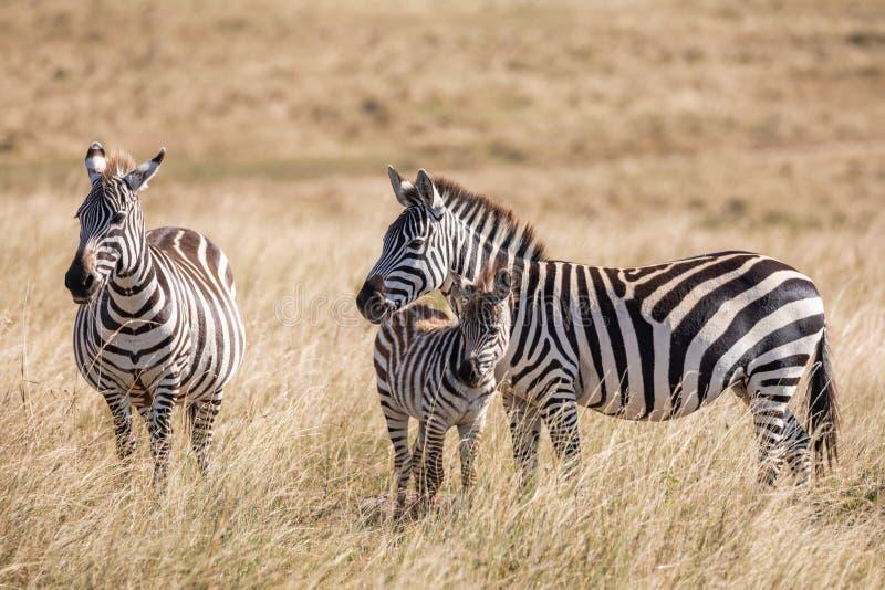 Ebenen Zebra, Equus Quagga, Familie von drei Mutter, Vater und Baby, stehend im hohen Gras der Savanne in Kenia lizenzfreie stockfotos
