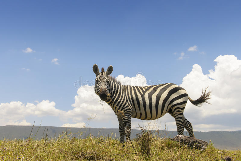 Ebenen-Zebra (Equus Quagga) von unterhalb lizenzfreie stockbilder