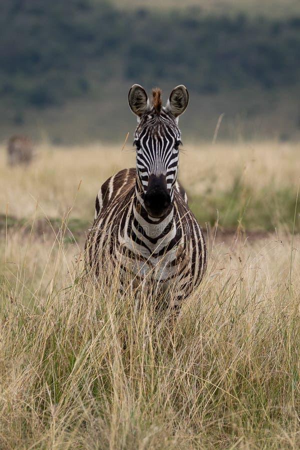 Ebenen-Zebra in Masai Mara, Kenia, Afrika lizenzfreies stockbild