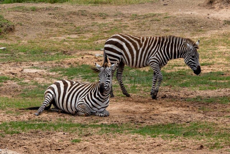 Ebenen-Zebra in Masai Mara, Kenia, Afrika lizenzfreie stockfotos
