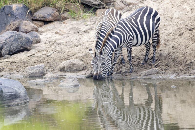 Ebenen-Zebra ` s, das in Grumeti-Fluss trinkt stockbild