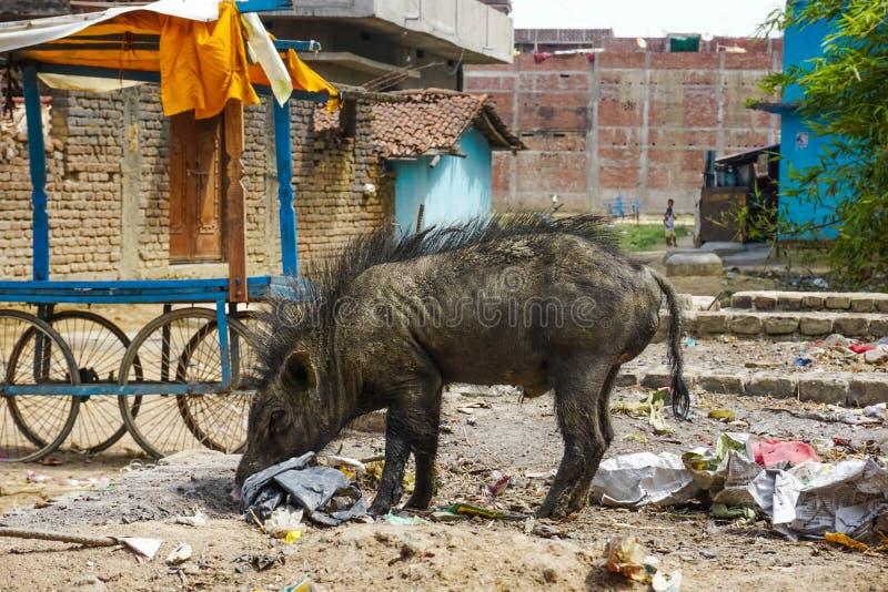 Eber sucht nach Nahrung in einem Stapel des Abfalls stockbilder