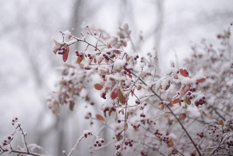 Eberesche im Schnee stockfotografie