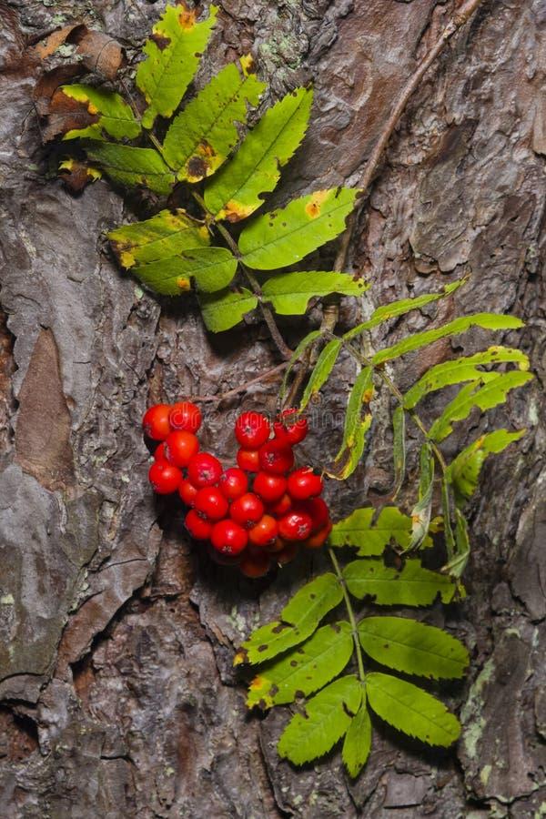 Eberesche, reife Beeren des Ebereschen-, Sorbusbaums und Blätter gegen Kiefer bellen, Nahaufnahme, selektiver Fokus, flacher DOF lizenzfreies stockbild