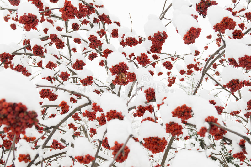 Eberesche und Schnee lizenzfreies stockbild
