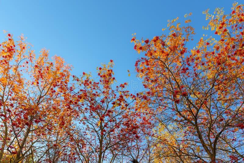 Ebereschenbäume mit reifen Beeren stockfotos