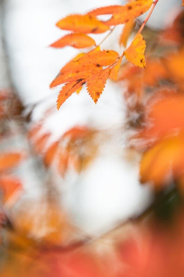 Ebereschenbaumblätter in den Herbstfarben stockbilder