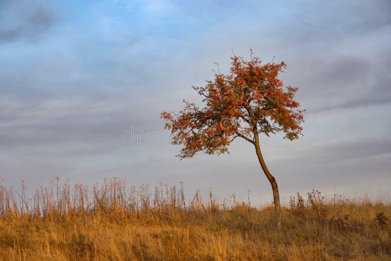 Ebereschenbeere - Sorbus aucuparia stockfoto