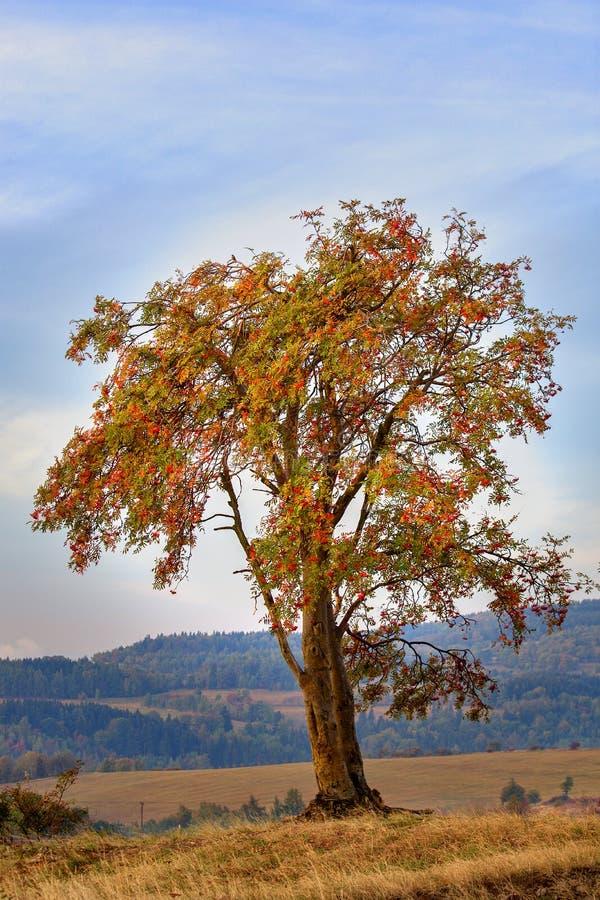 Ebereschenbeere - Sorbus aucuparia stockfotografie