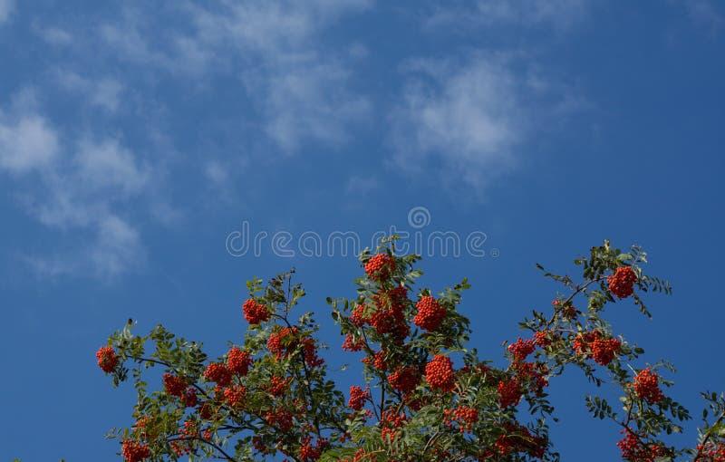 Ebereschenbeerenbaum stockfotografie