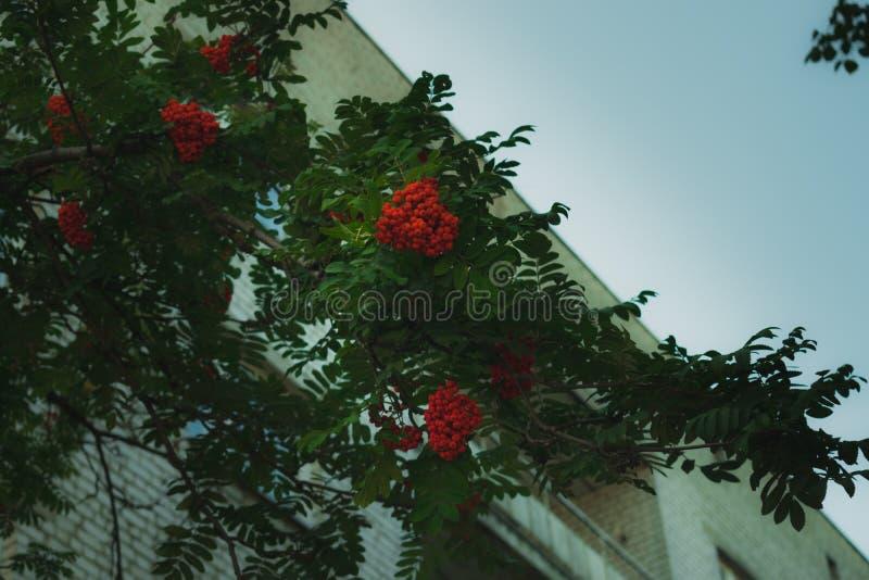 Ebereschenniederlassung mit einem Bündel roten reifen Beeren lizenzfreies stockbild