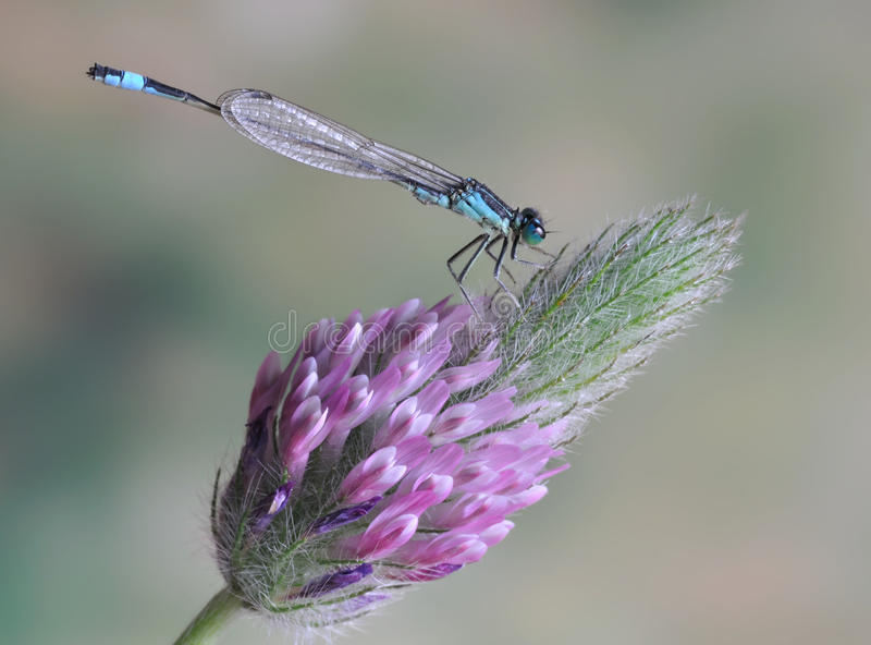 Ebneri van libelischnura elegans (mannetje) stock foto