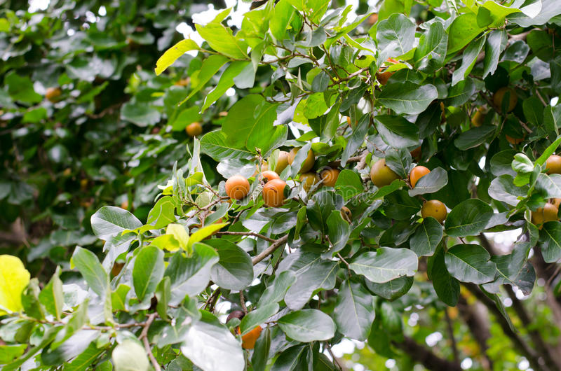 Ebony fruit stock photo