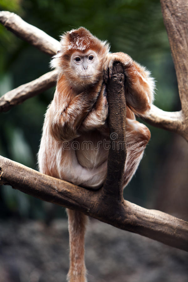 Ebony Langur monkey stock images