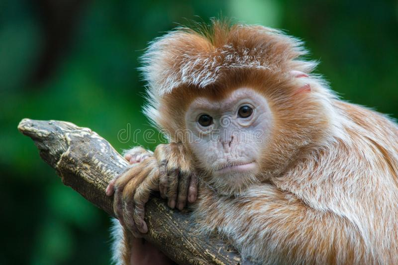 Ebony Langur monkey poses for a picture stock photos