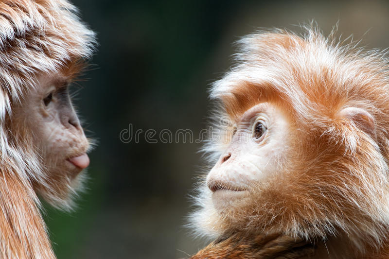 Ebony Langur Pair Bronx Zoo 2017 Series. Ebony langur pair communicating face to face royalty free stock photography