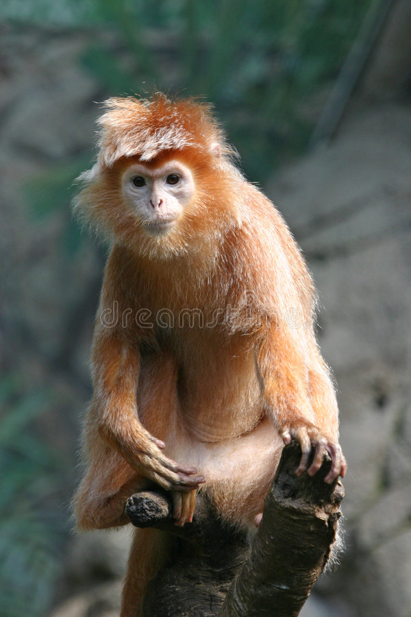 Ebony langur - some grain visible royalty free stock photos