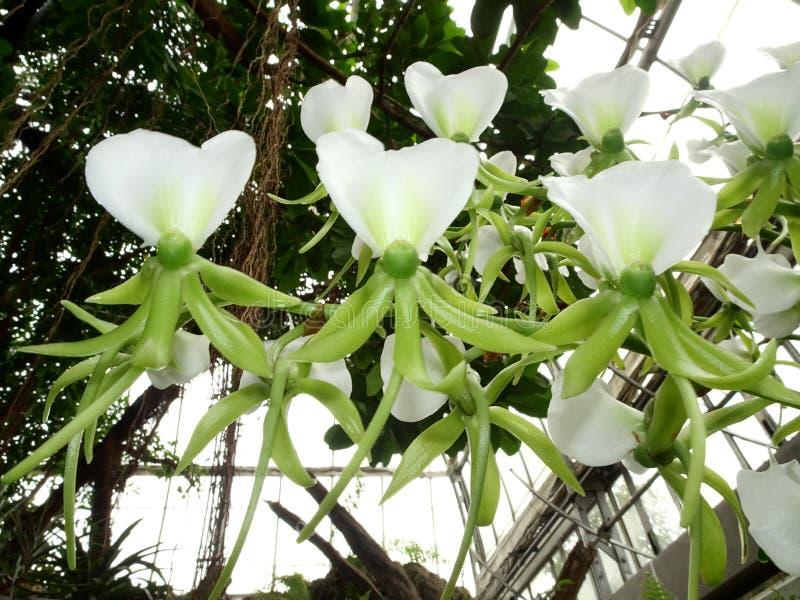 Eburneum Angraecum ορχιδεών ελεφαντόδοντου στοκ εικόνες