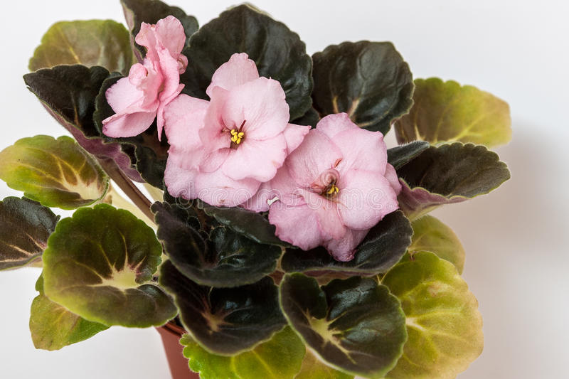 EC das variedades do Saintpaulia - gaze de seda E do abricó Korshunova com as flores cor-de-rosa bonitas Close-up imagens de stock royalty free