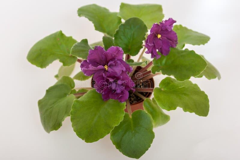 EC das variedades do Saintpaulia - ouro E da tourada Korshunova com as flores marrons escuras bonitas imagem de stock royalty free