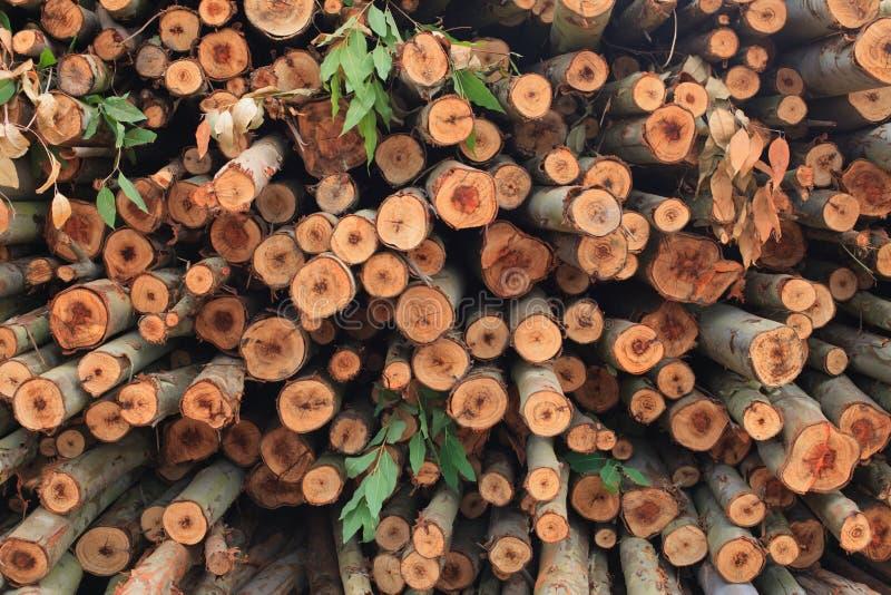 Ecalyptus tree in stock
