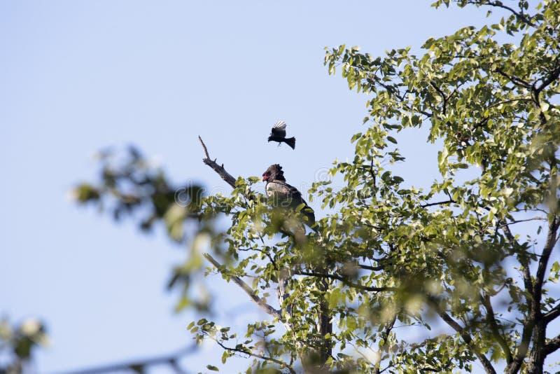 Ecaudatus de Terathopius, Bateleur Eagle, parque nacional de Moremi, Botswana fotografia de stock royalty free