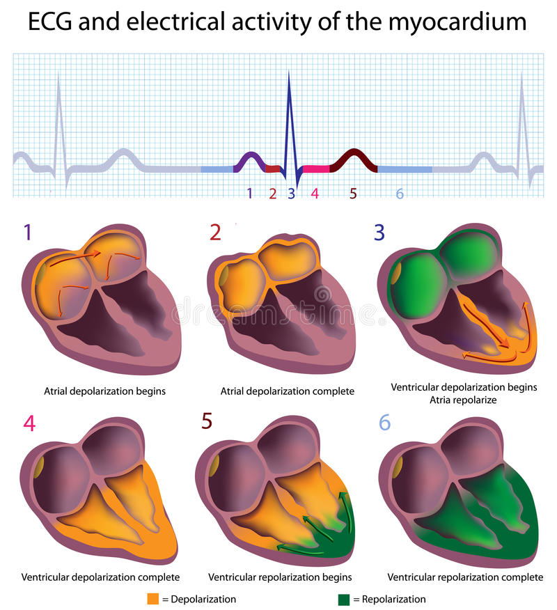 ECG explained. Connection between ECG and electrical activity of the heart, eps8 royalty free illustration